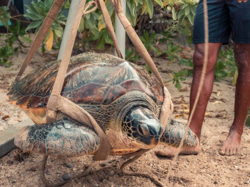 Les coulisses de Kelonia : une journée dans la peau d'un soigneur de tortue 974