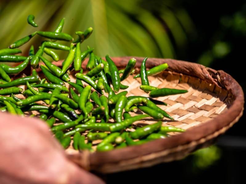 Tradition péi la culture du piment à l'Étang Saint-Paul
