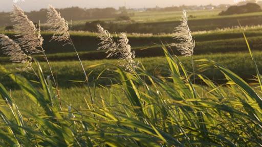Fleurs de canne à sucre dans un champ de l'ile de La Réunion 974