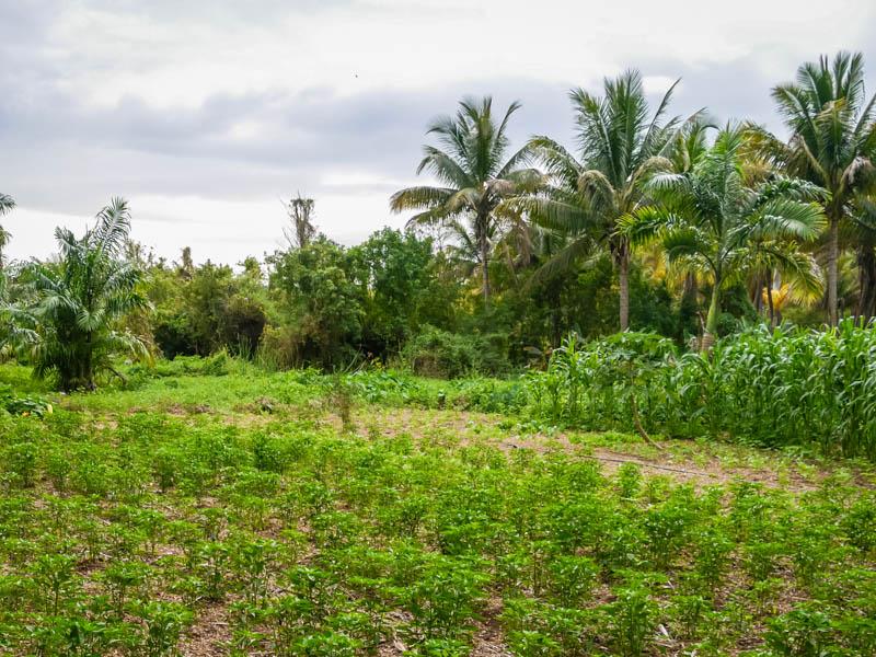 culture du piment à l'étang saint-paul