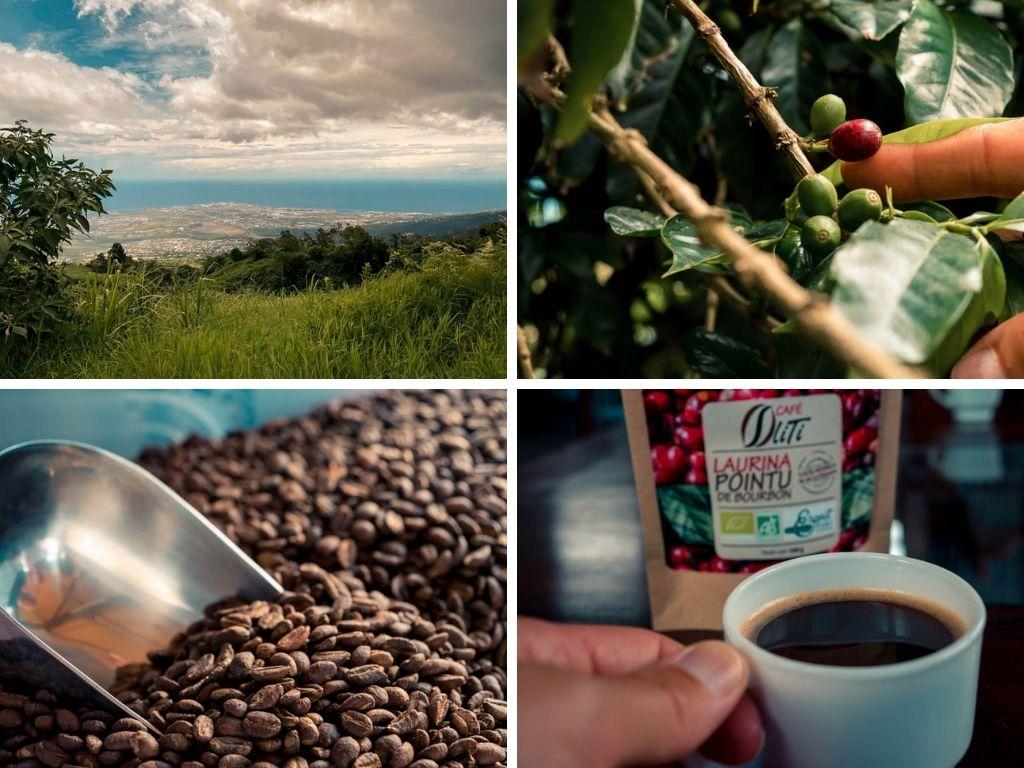 café bourbon pointu de l'Ile de La Réunion dans les hauts de Saint-Paul