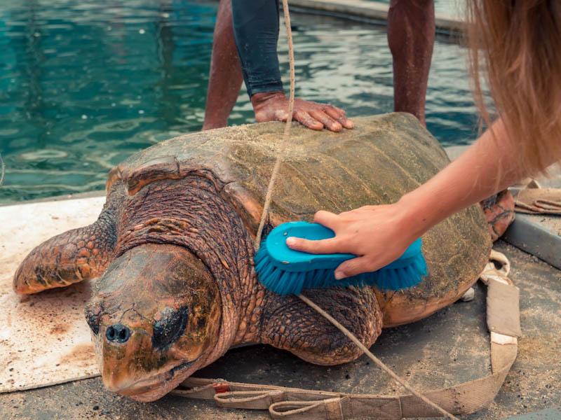 brossage des tortues à Kélonia ile de La Réunion