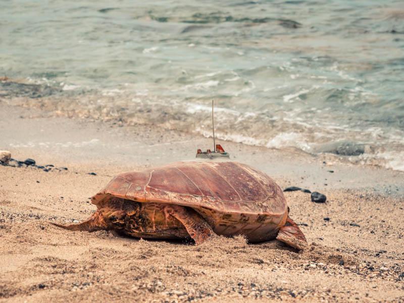 la tortue cassandra a été relachée à l'Ile de La Réunion