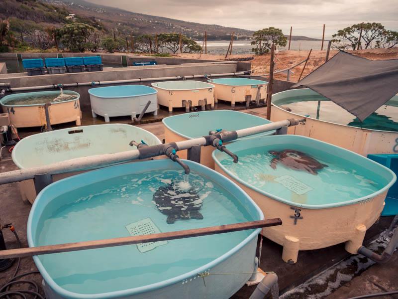 tortues de mer en soin à Kélonia