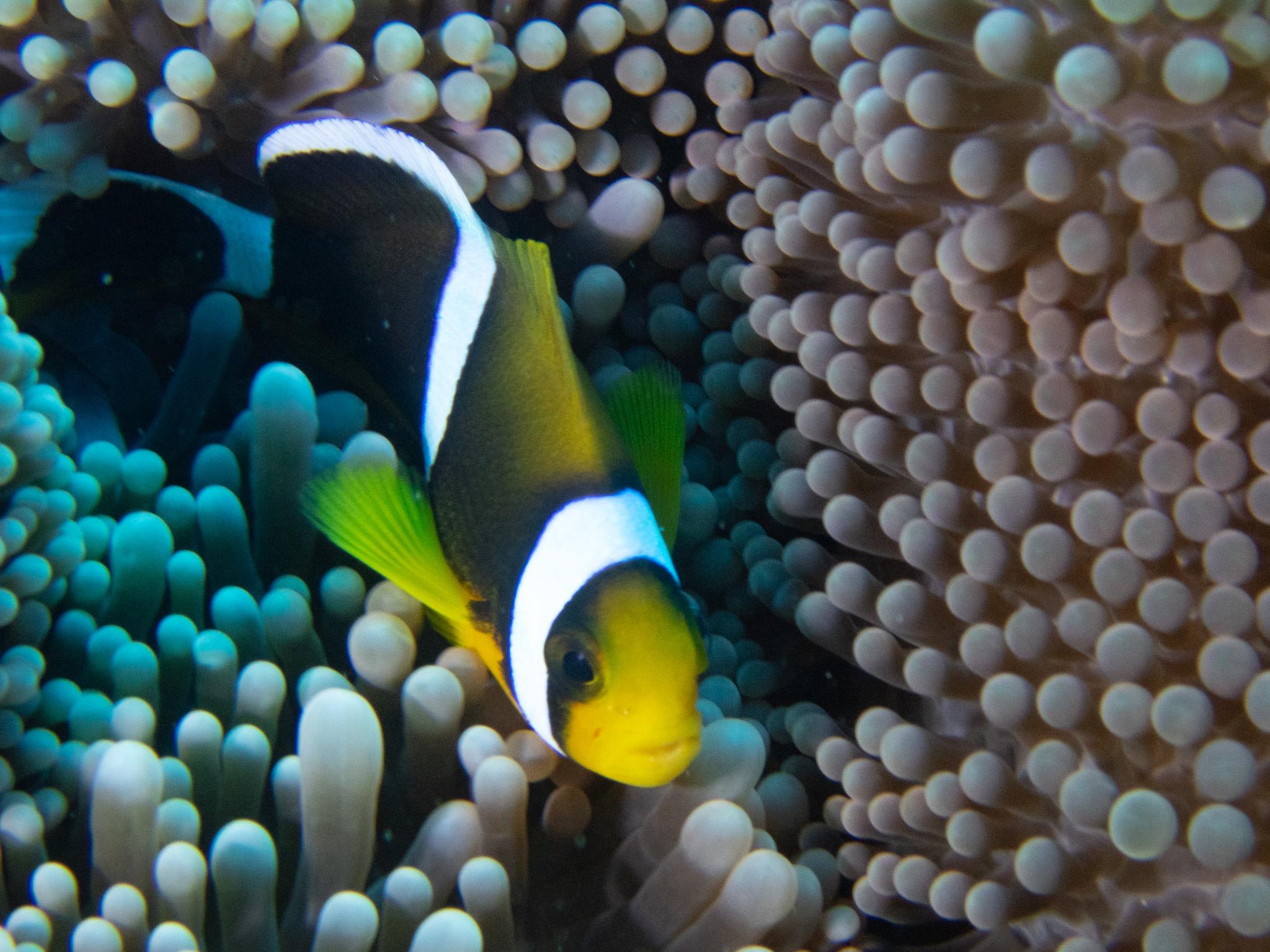 poisson clown dans l'ocean indien à l'ile de la reunion