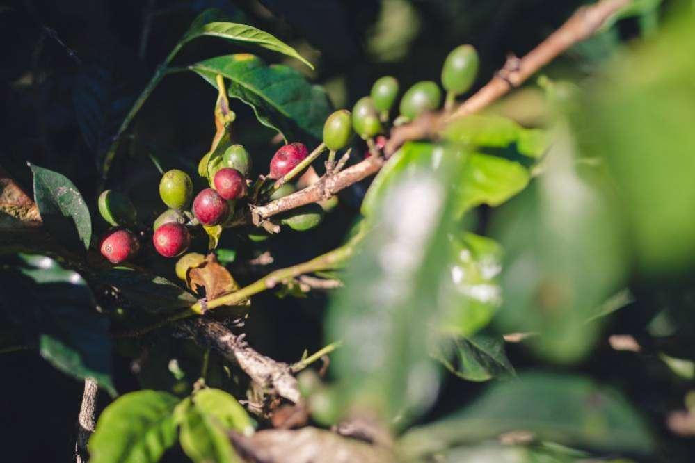 La production de café bourbon pointu à l'Ile de La Réunion 974
