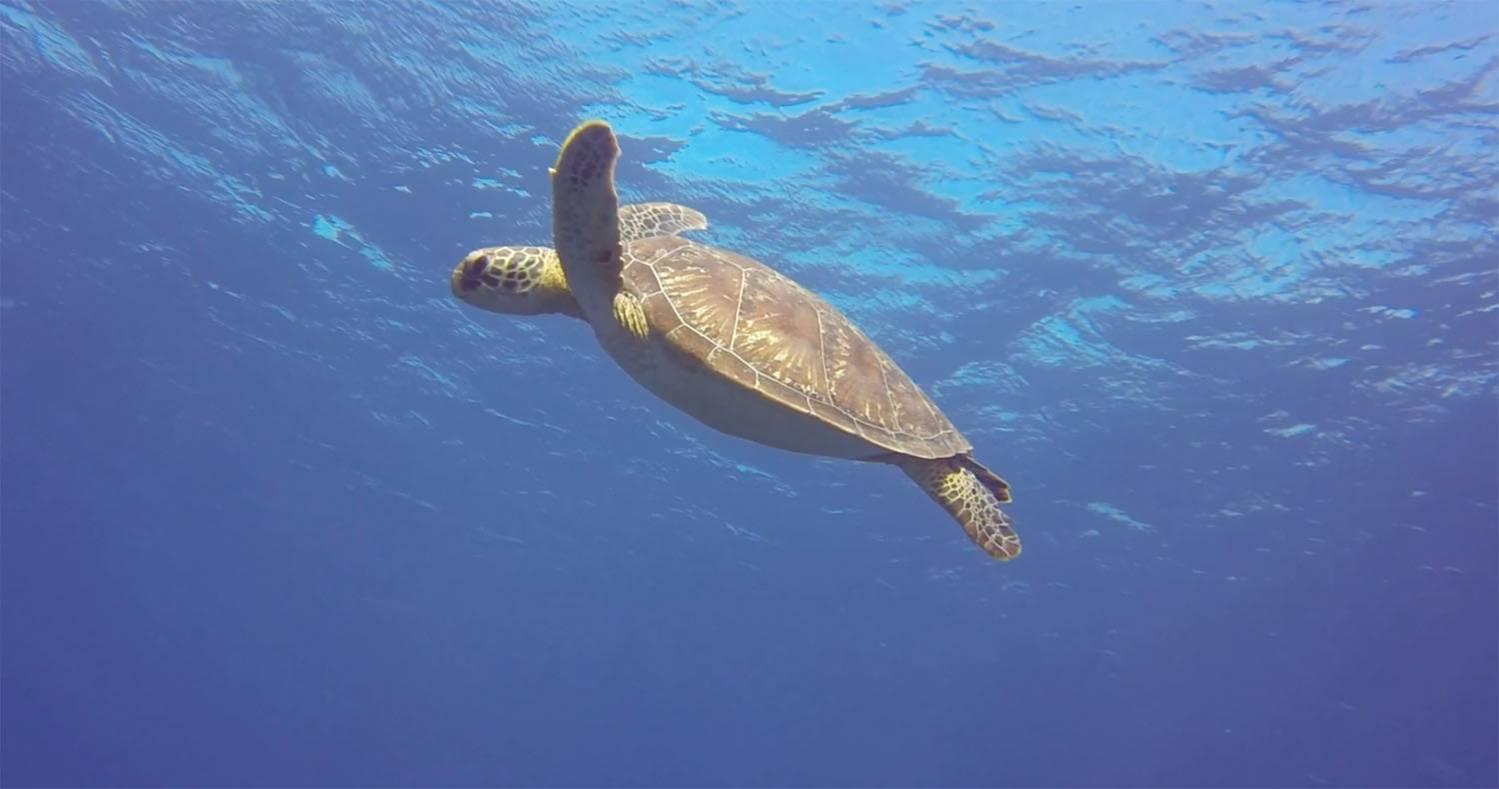 Une tortue dans l'océan indien à l'Ile de La Réunion 974