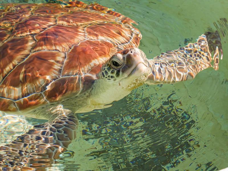 tortue à kélonia ile de la Réunion 974